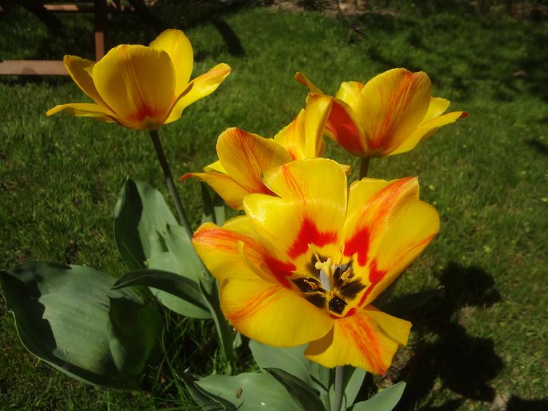 Lilien(artige) -  natürlich Lilien, aber auch Inkalilien, Zeitlose, Germer und Stechwinden - Seite 12 Dsc08133