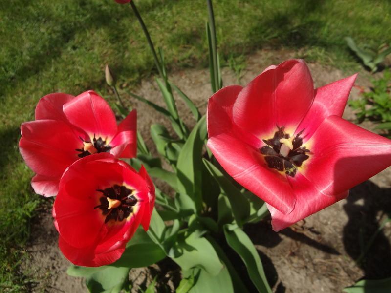 Lilien(artige) -  natürlich Lilien, aber auch Inkalilien, Zeitlose, Germer und Stechwinden - Seite 12 Dsc08137