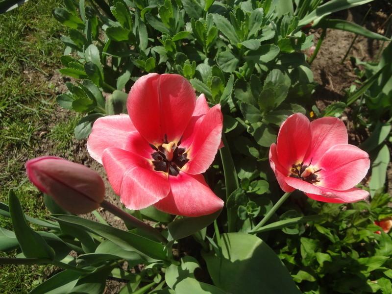 Lilien(artige) -  natürlich Lilien, aber auch Inkalilien, Zeitlose, Germer und Stechwinden - Seite 12 Dsc08138