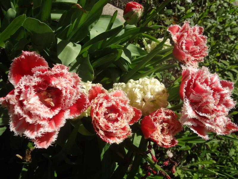 Lilien(artige) -  natürlich Lilien, aber auch Inkalilien, Zeitlose, Germer und Stechwinden - Seite 12 Dsc08139
