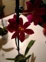 Mes petites orchidées :) Img_2035