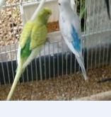 nouvelles perruches Perruc10