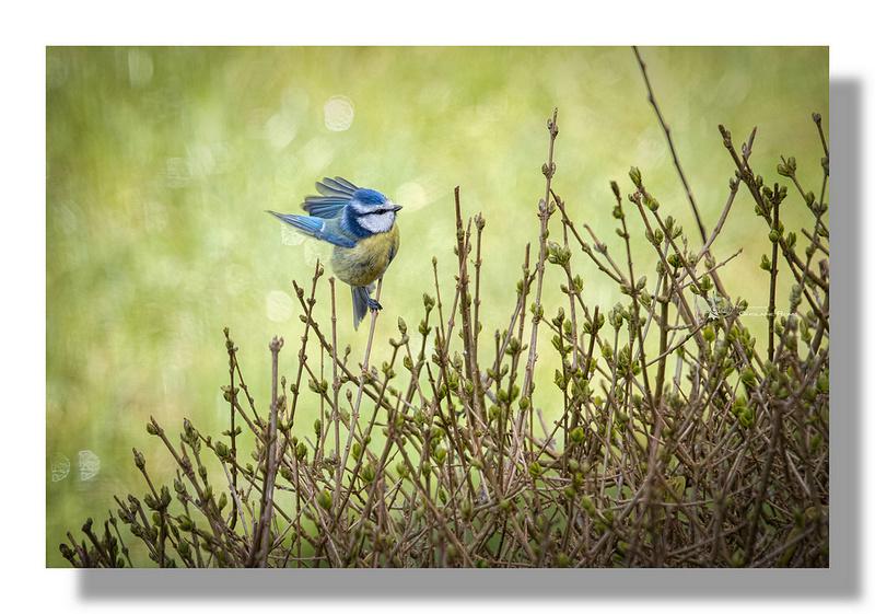 de si petits oiseaux  Mesang10