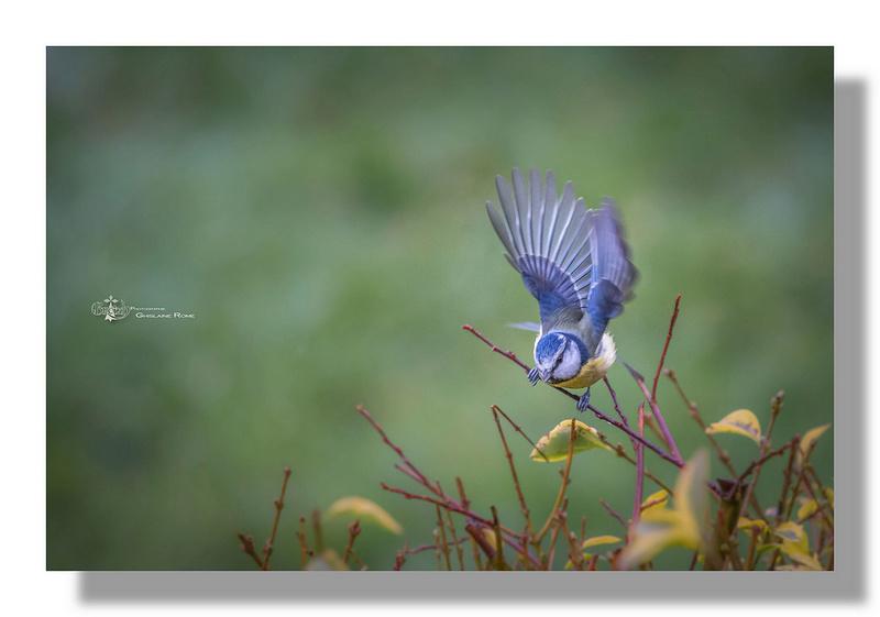 de si petits oiseaux  Mesang11
