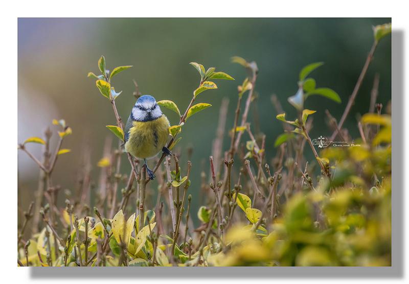 de si petits oiseaux  Mesang12