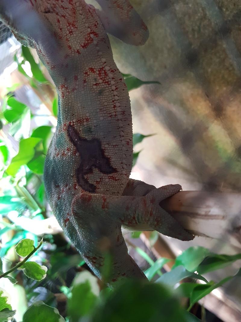 Furcifer pardalis  15240710