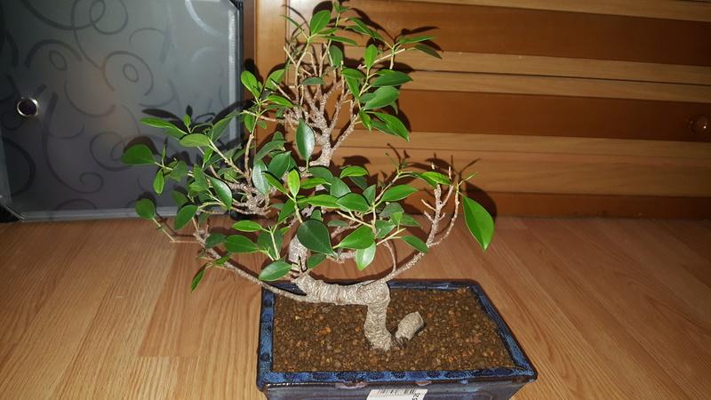 Ficus sin hojas y ramas secas  20180410