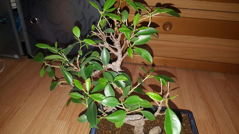 Ficus sin hojas y ramas secas  20180412