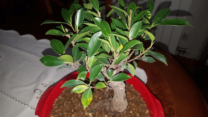 bonsais ficus y olmo chino 5 años  20180413