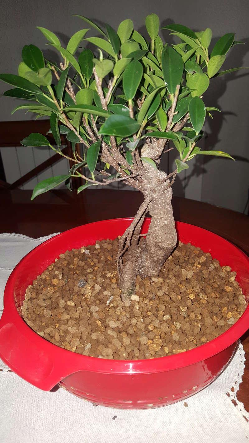 bonsais ficus y olmo chino 5 años  20180414
