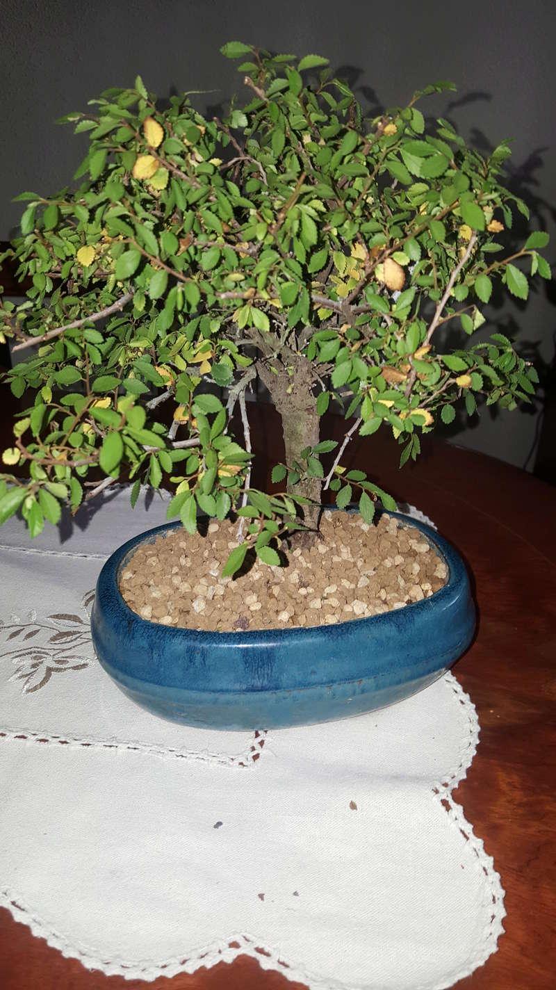 bonsais ficus y olmo chino 5 años  20180415