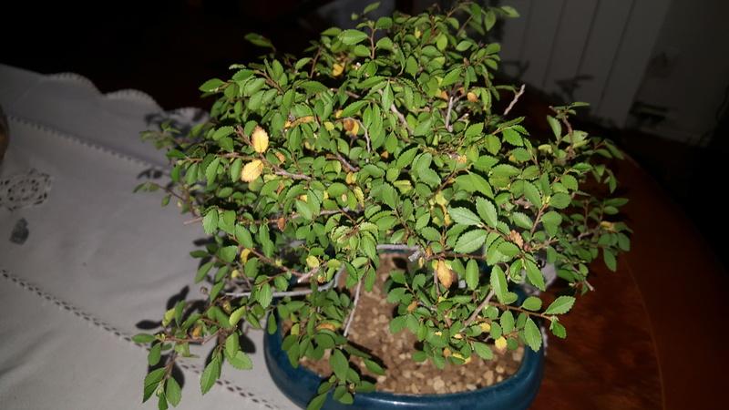 bonsais ficus y olmo chino 5 años  20180416