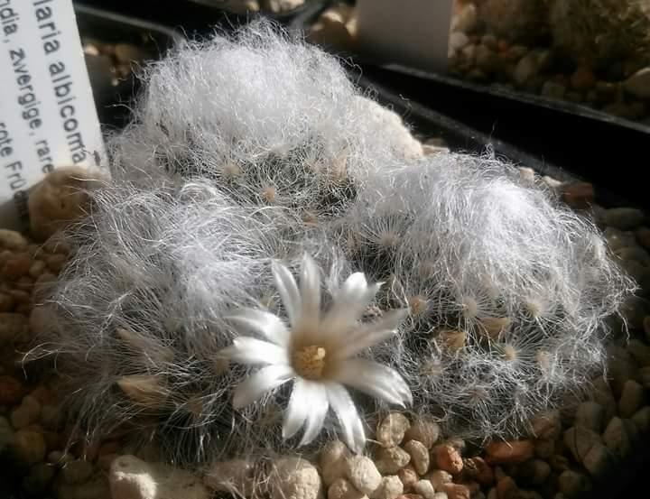 Mammillaria albicoma  Mamm_a10