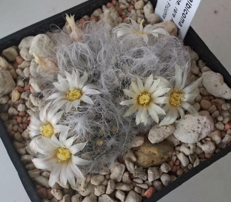 Mammillaria albicoma  Mamm_a11