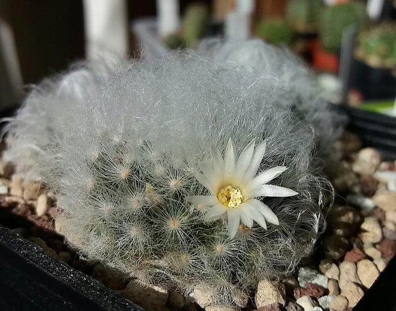 Mammillaria albicoma  Mamm_a12