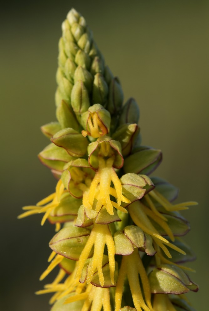 quelques orchidées vendéennes Hommep13