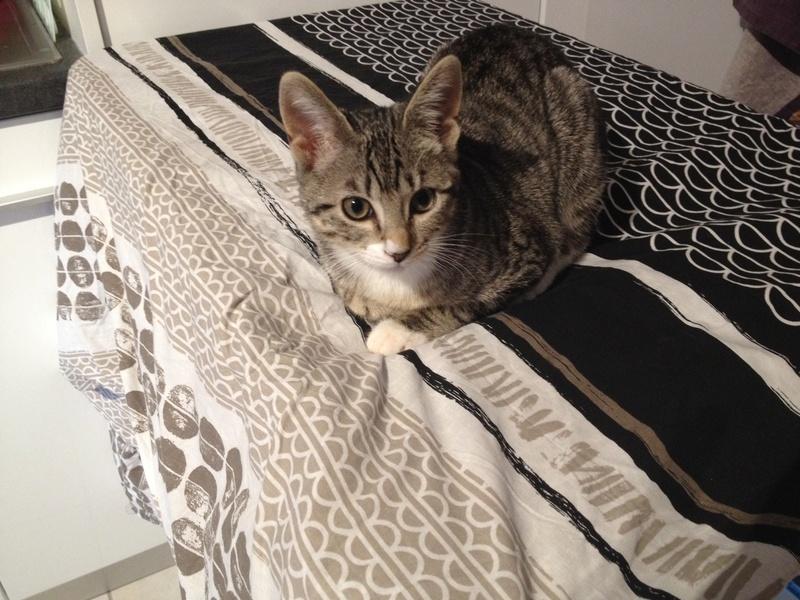 nikkie - NIKKIE, chatonne tigrée et blanche, née le 09/07/17 Nikkie11