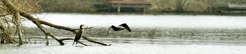 Quelques oiseaux de la réserve naturelle de Remerschen  : - Page 2 Cormor10