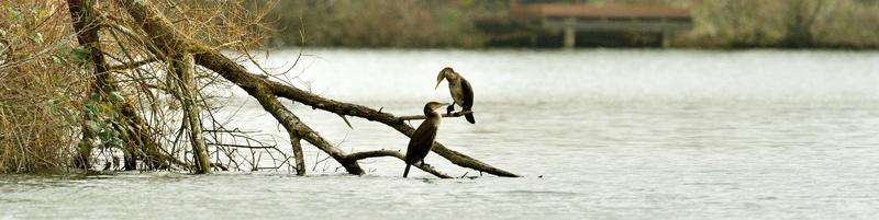 Quelques oiseaux de la réserve naturelle de Remerschen  : - Page 2 Cormor11