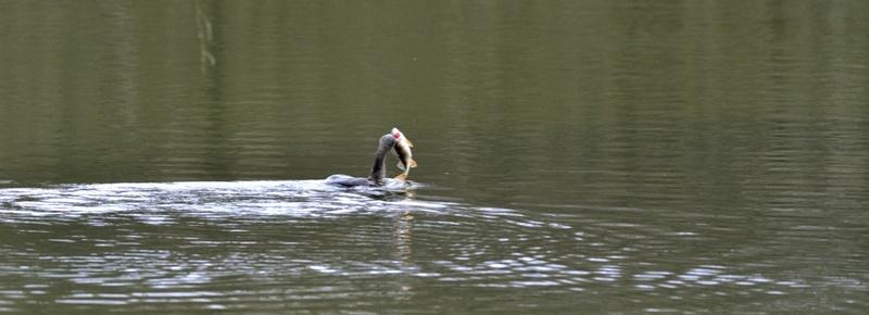 Quelques oiseaux de la réserve naturelle de Remerschen  : - Page 2 Cormor12
