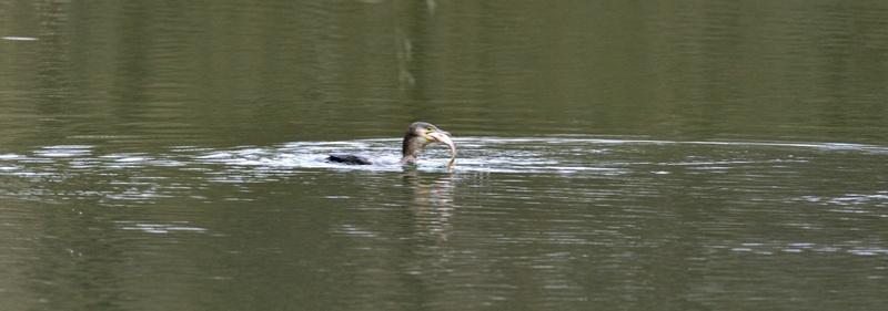 Quelques oiseaux de la réserve naturelle de Remerschen  : - Page 2 Cormor13