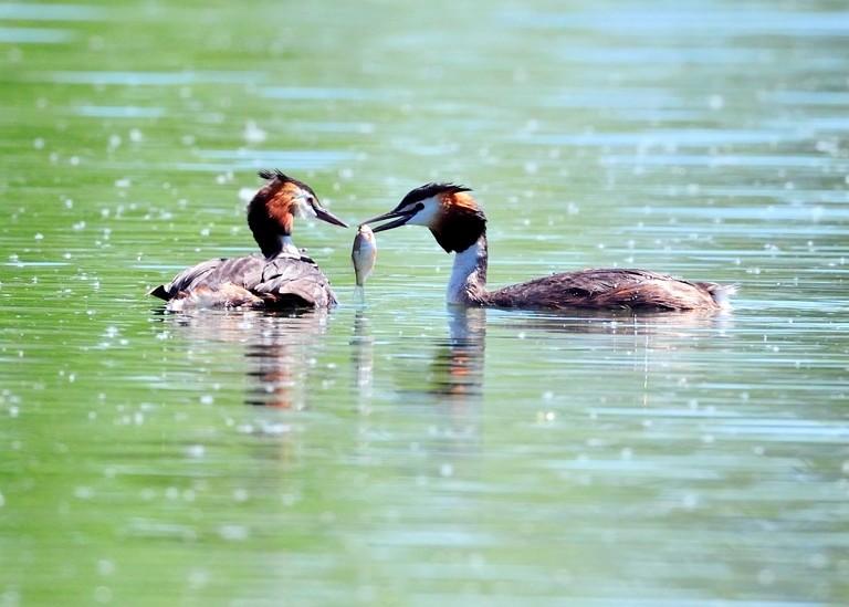 Quelques oiseaux de la réserve naturelle de Remerschen  : Couple10