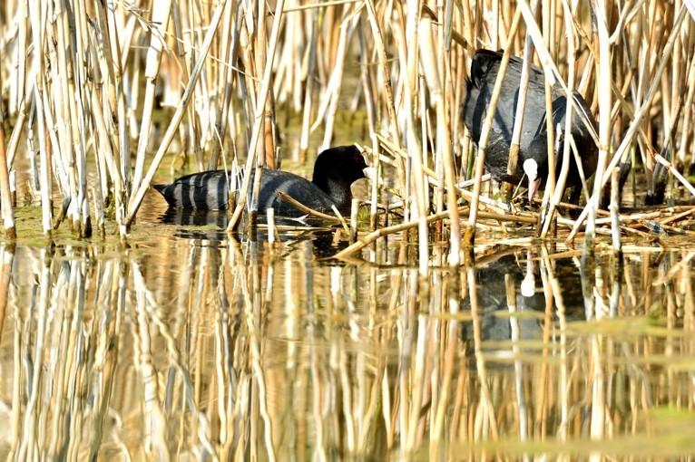 Quelques oiseaux de la réserve naturelle de Remerschen  : - Page 2 Couple11