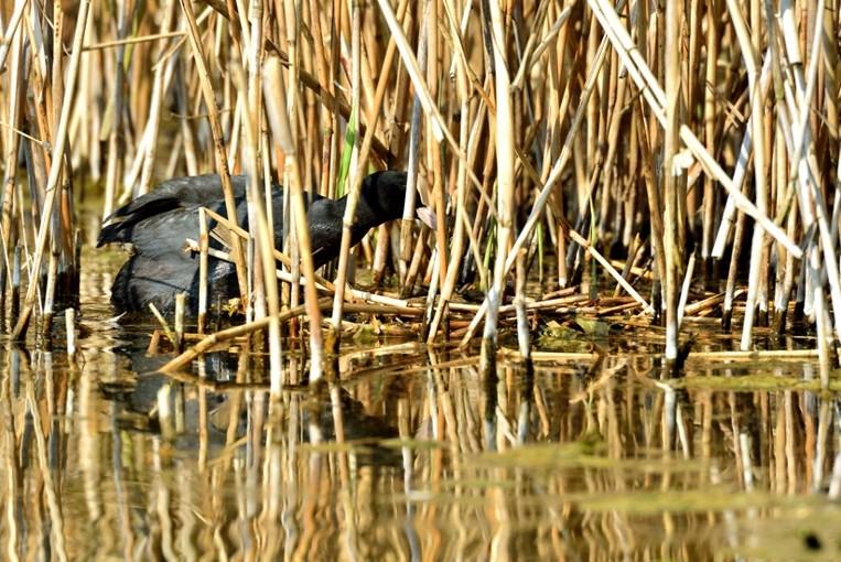 Quelques oiseaux de la réserve naturelle de Remerschen  : - Page 2 Foulqu10