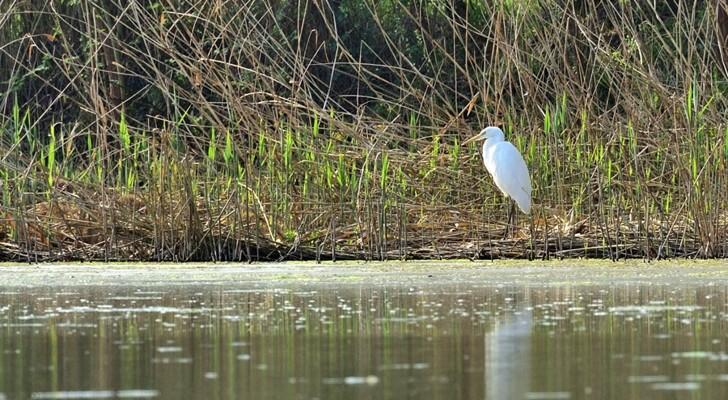 Quelques oiseaux de la réserve naturelle de Remerschen  : - Page 2 Grande10