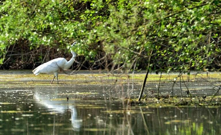 Quelques oiseaux de la réserve naturelle de Remerschen  : - Page 2 Grande11