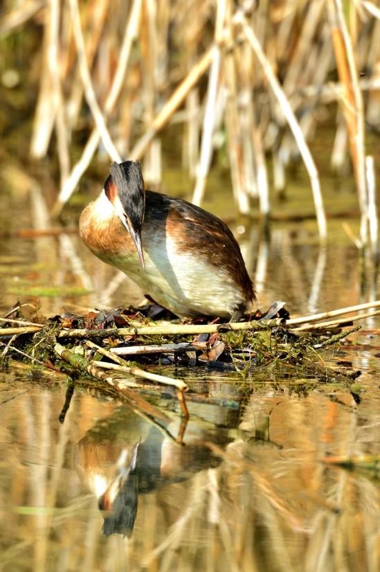 Quelques oiseaux de la réserve naturelle de Remerschen  : - Page 2 Grybe_13
