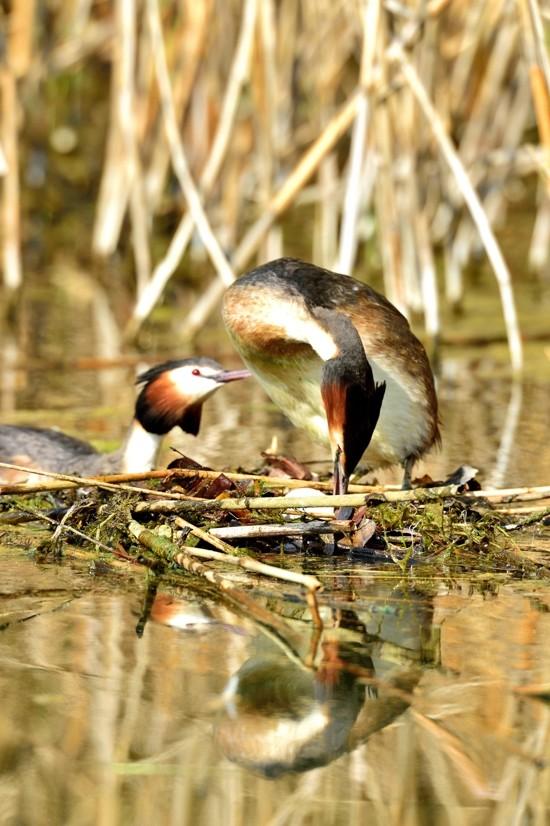 Quelques oiseaux de la réserve naturelle de Remerschen  : - Page 2 Grybe_14