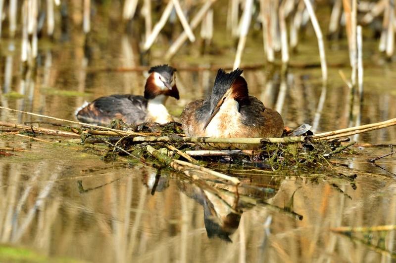 Quelques oiseaux de la réserve naturelle de Remerschen  : - Page 2 Grybe_15
