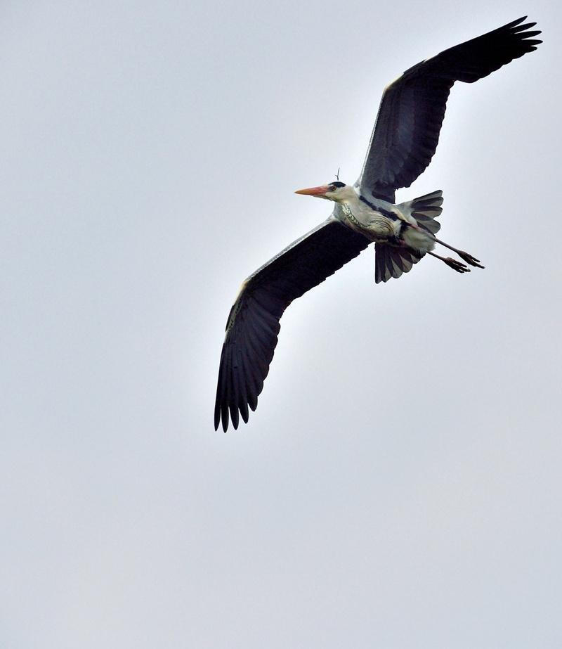 Quelques oiseaux de la réserve naturelle de Remerschen  : - Page 2 Hyron_10