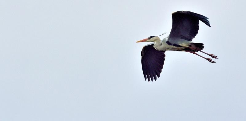 Quelques oiseaux de la réserve naturelle de Remerschen  : - Page 2 Hyron_12