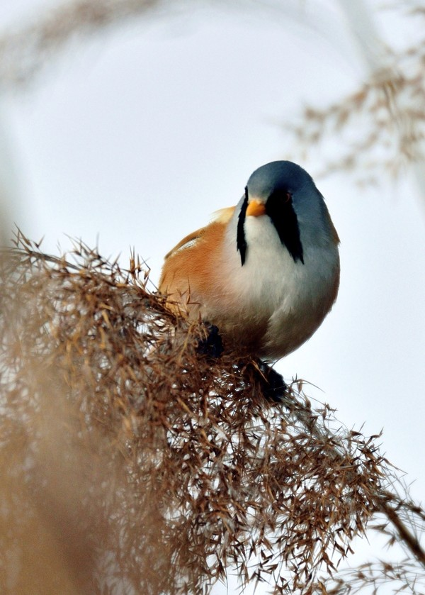 Quelques oiseaux de la réserve naturelle de Remerschen  : Panure10