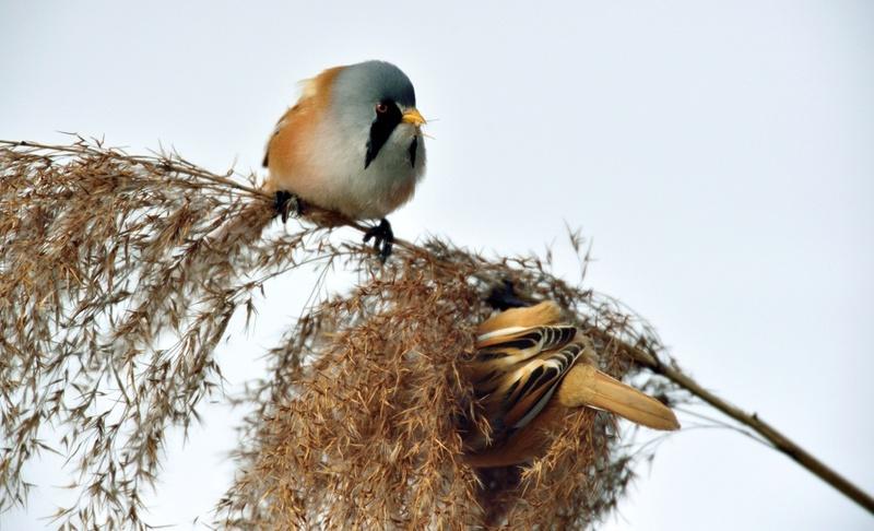 Quelques oiseaux de la réserve naturelle de Remerschen  : Panure11