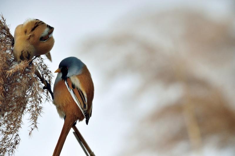 Quelques oiseaux de la réserve naturelle de Remerschen  : Panure12
