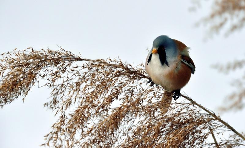 Quelques oiseaux de la réserve naturelle de Remerschen  : Panure13