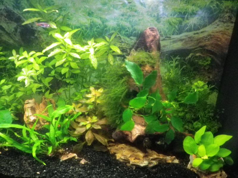 besoin de votre aide pour mon aquarium de 130 l - Page 5 Imgp0027