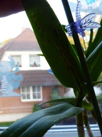 Hat meine Dendrobium einen Pilz? Dendro11