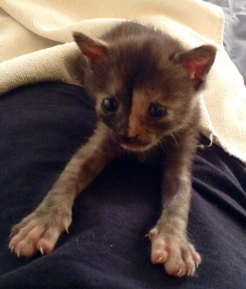 Κιάρα - ιδιαίτερο γατάκι ψάχνει σπίτι Kiara-17