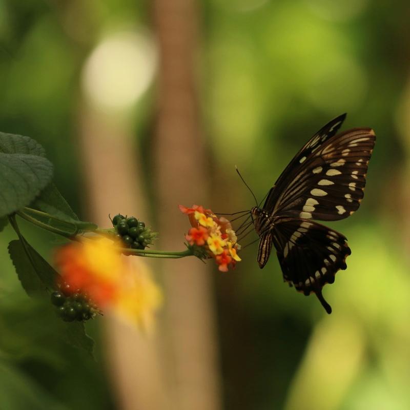 Ayscelia cyaniris Papillon du Costa Rica Img_0311