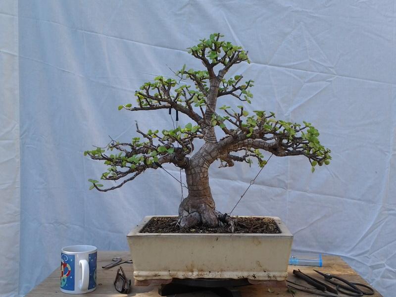 Mi primer bonsai 20161110