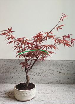 Trasplante de Acer Palmatum Arce-110