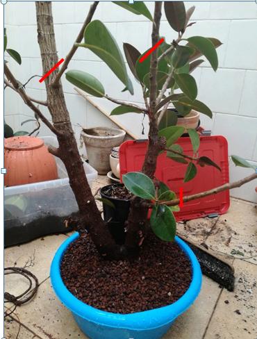 Recuperación ficus robusta Ficus-10