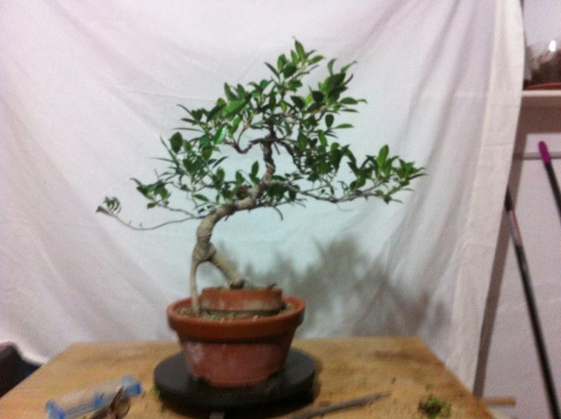 Ficus Retusa Img_3512
