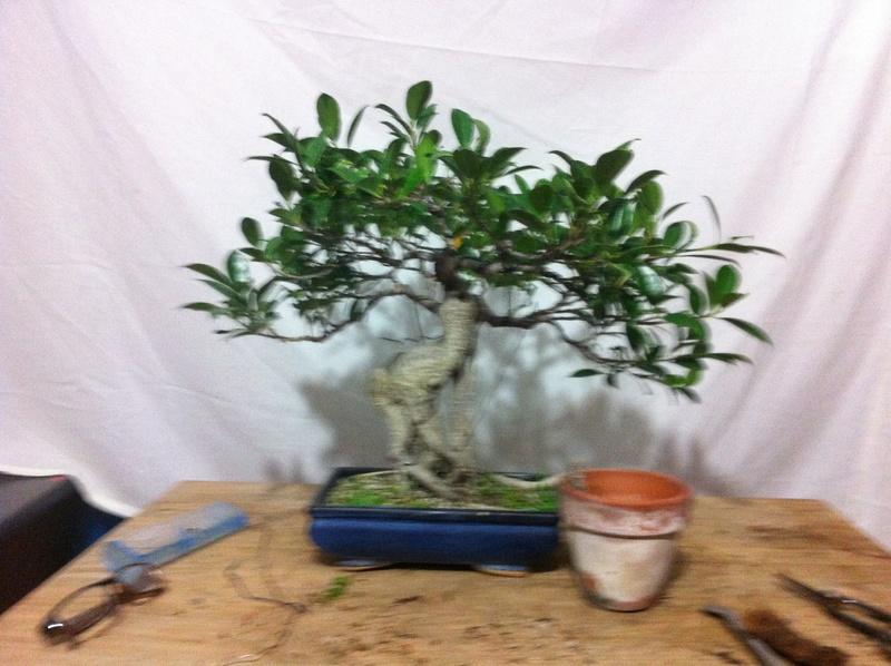 Ficus Retusa Img_3614