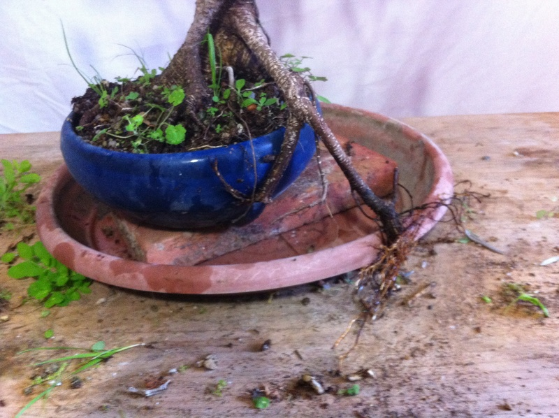 Ficus Retusa Img_3615