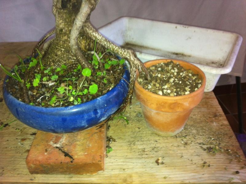 Ficus Retusa Img_3617